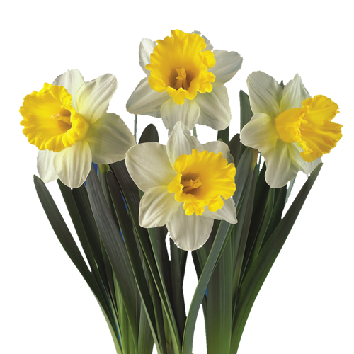 Narcissus 'Attraction'