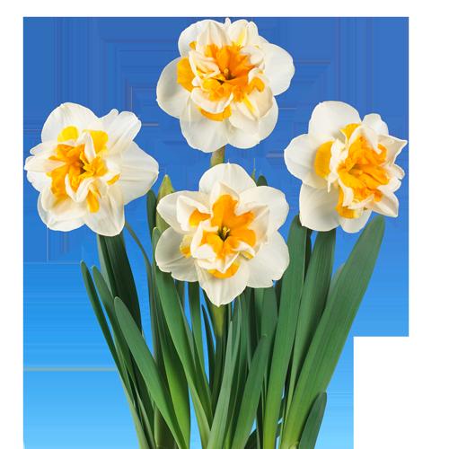 Narcissus 'Blossom'