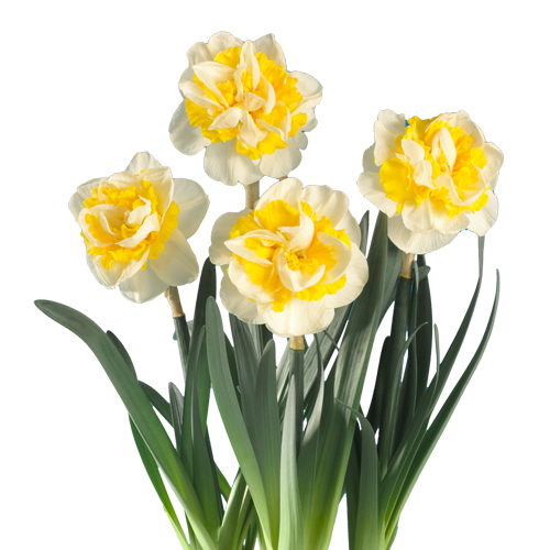 Narcissus 'Westward'