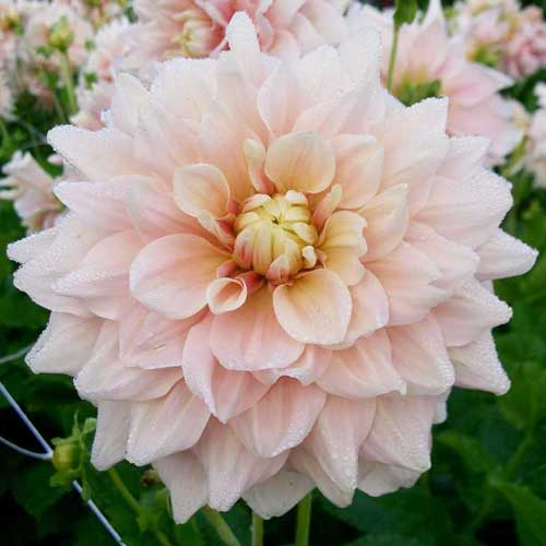 Dahlia 'Break Out'